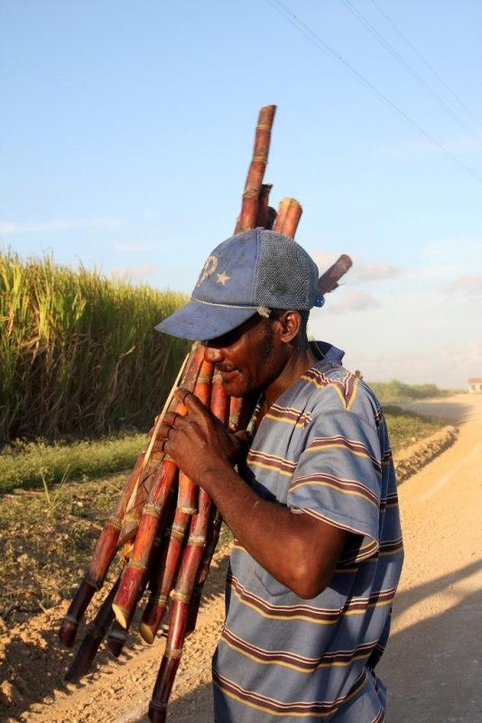 8 Sonia Costa_Sugar cane