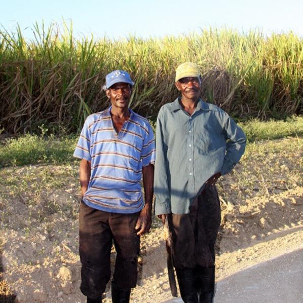 Sugar cane anteprima