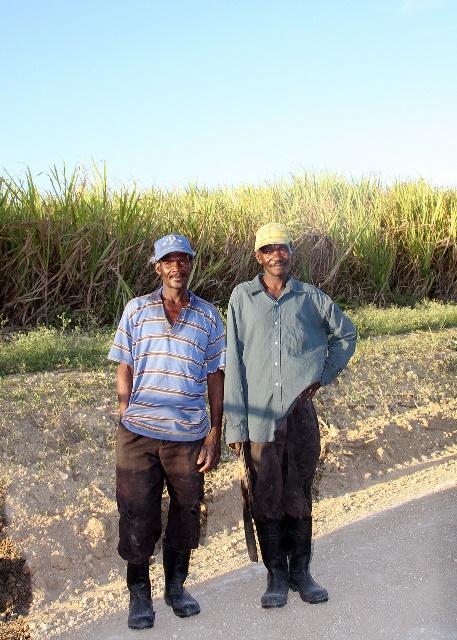 15 Sugar cane b