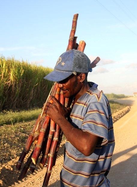 9 Sugar cane b (2)
