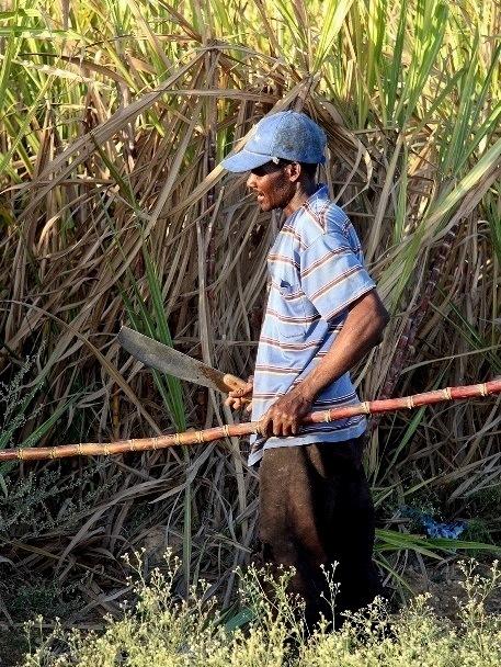 7 Sugar cane b
