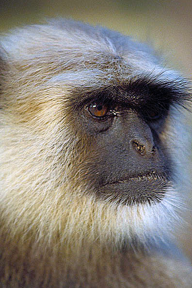 Presbytis entellus,  Scimmia langur,  Primo piano testa, India